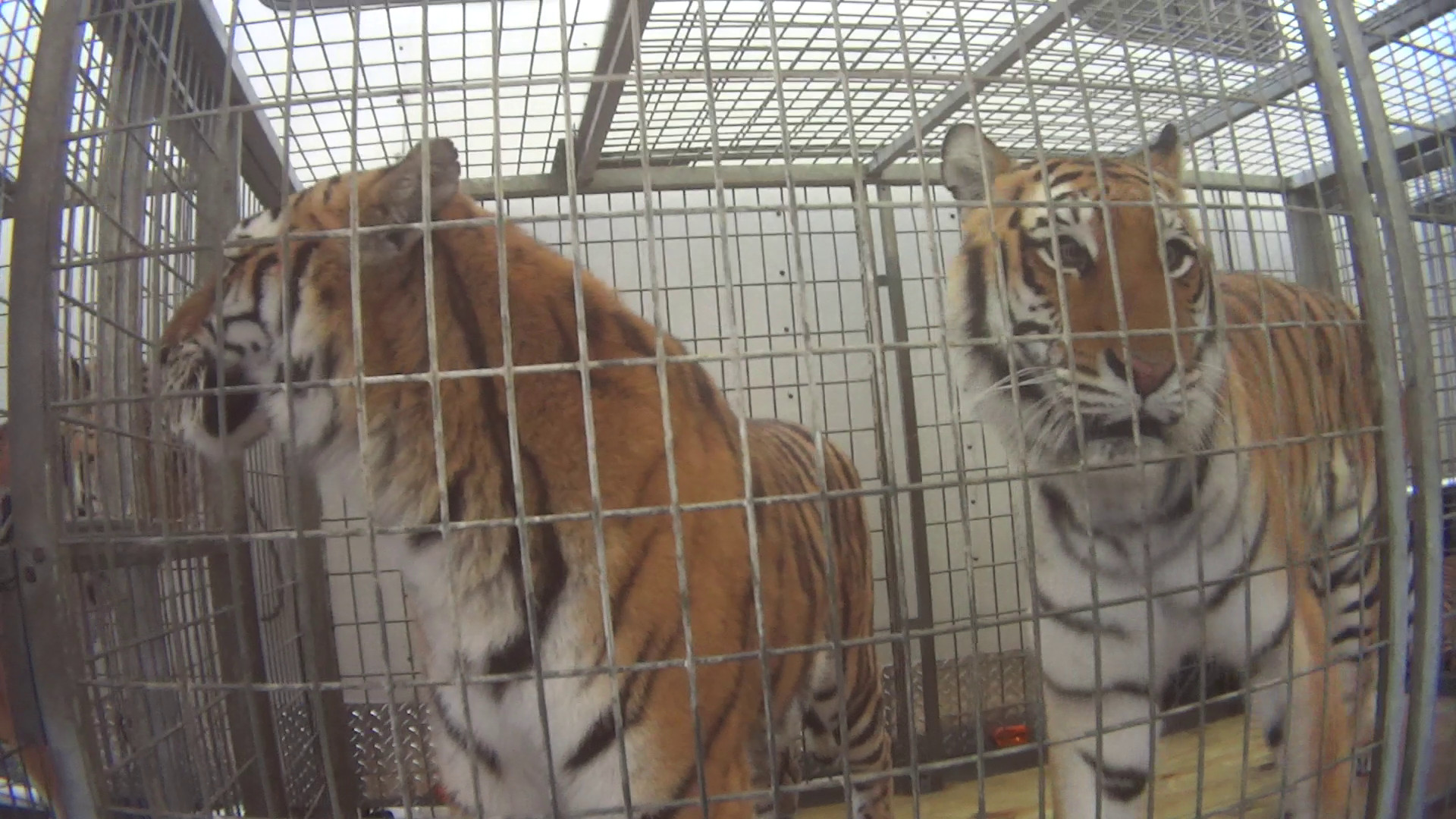 caged tigers