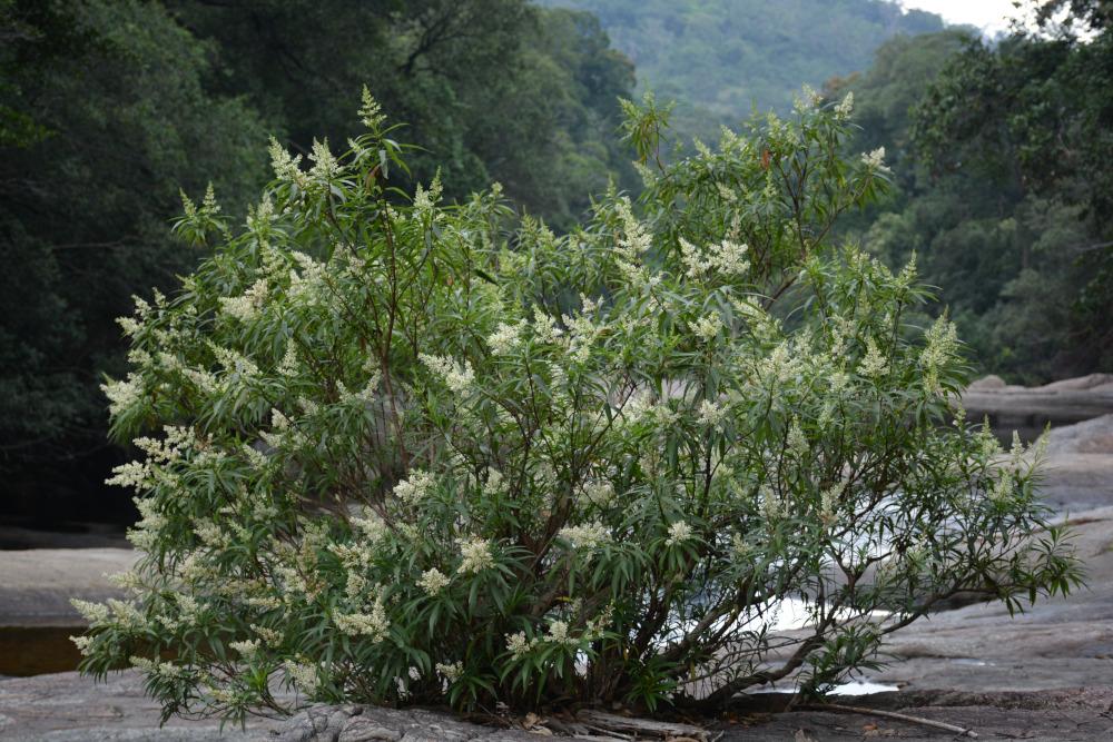 Wendlandia angustifolia