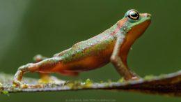Mindo harlequin toad