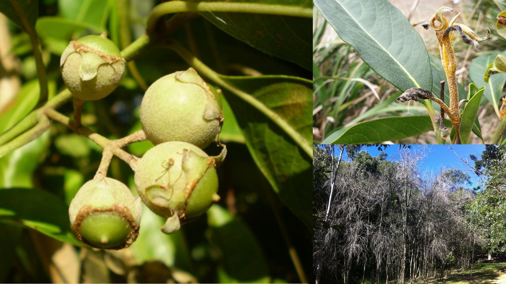 Native guava myrtle root