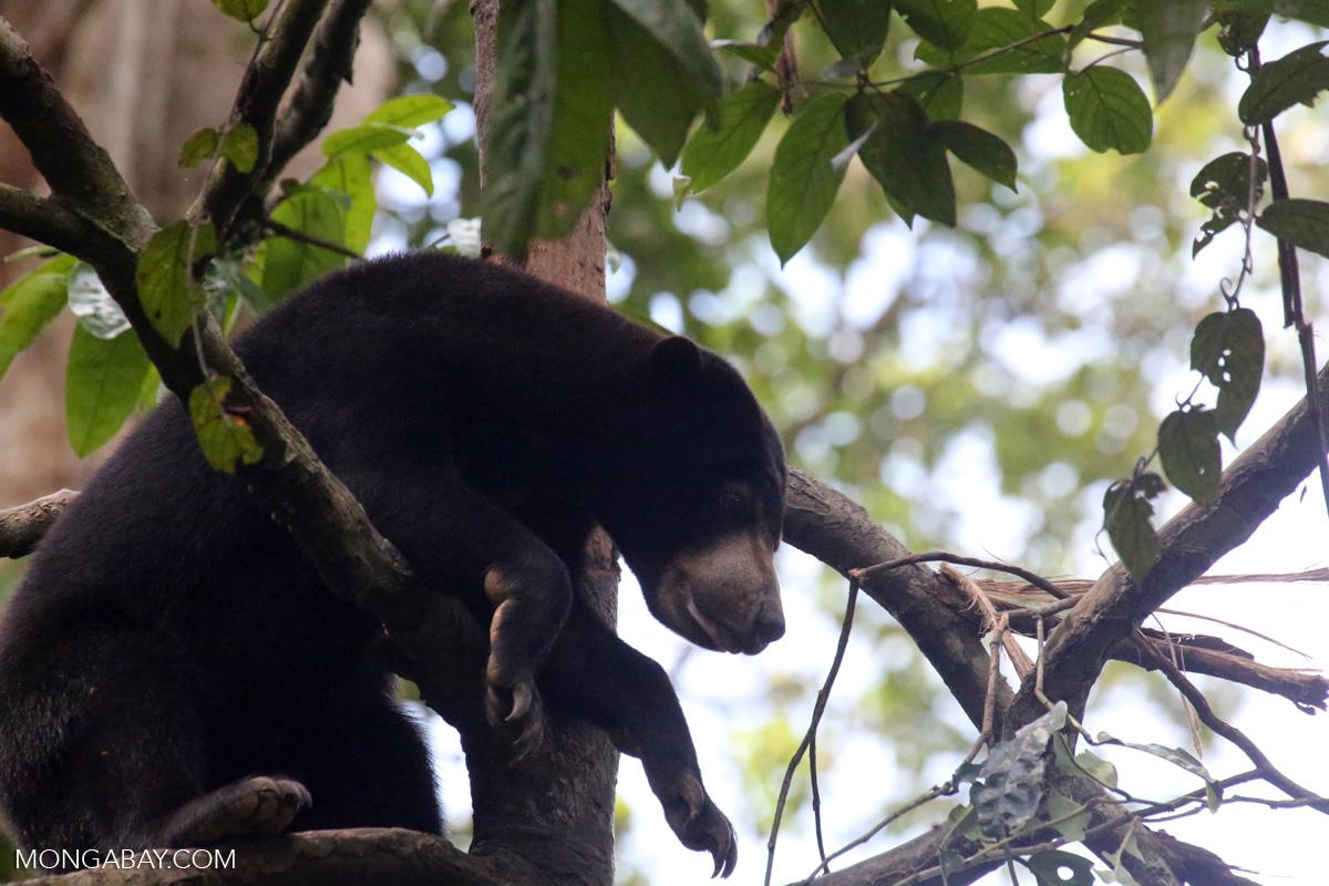 Sun bear Borneo