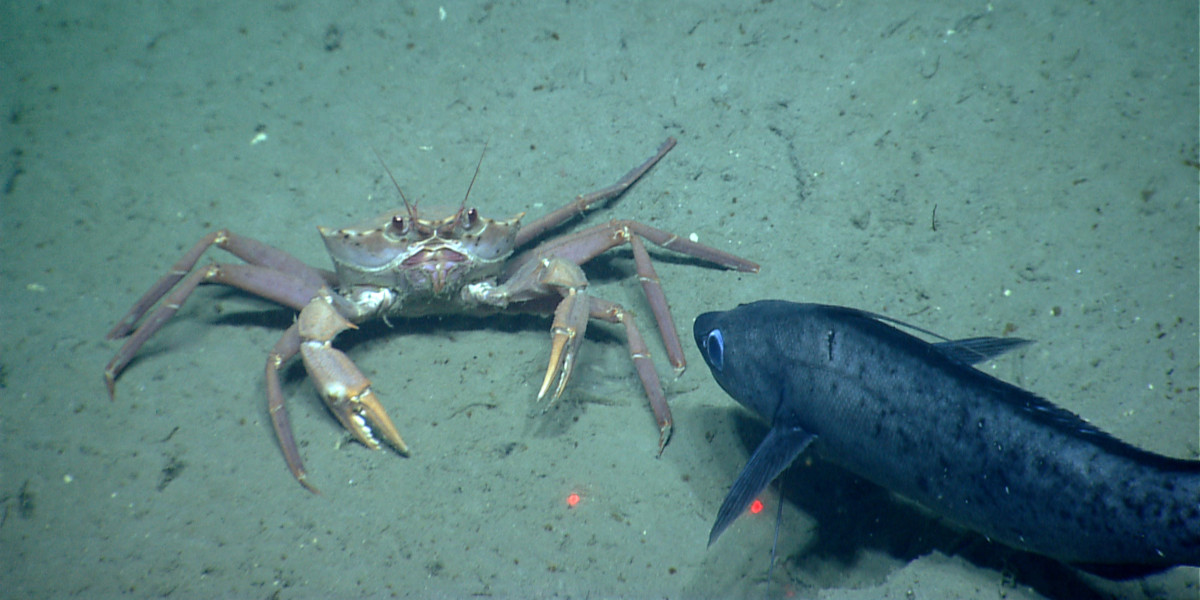 Antimora and crab
