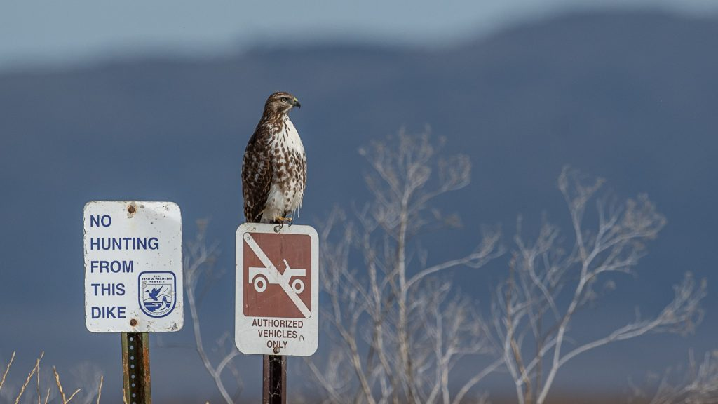 Hawk sits on top of sign
