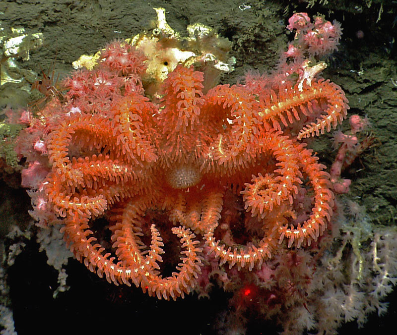 Brisingid Sea Star