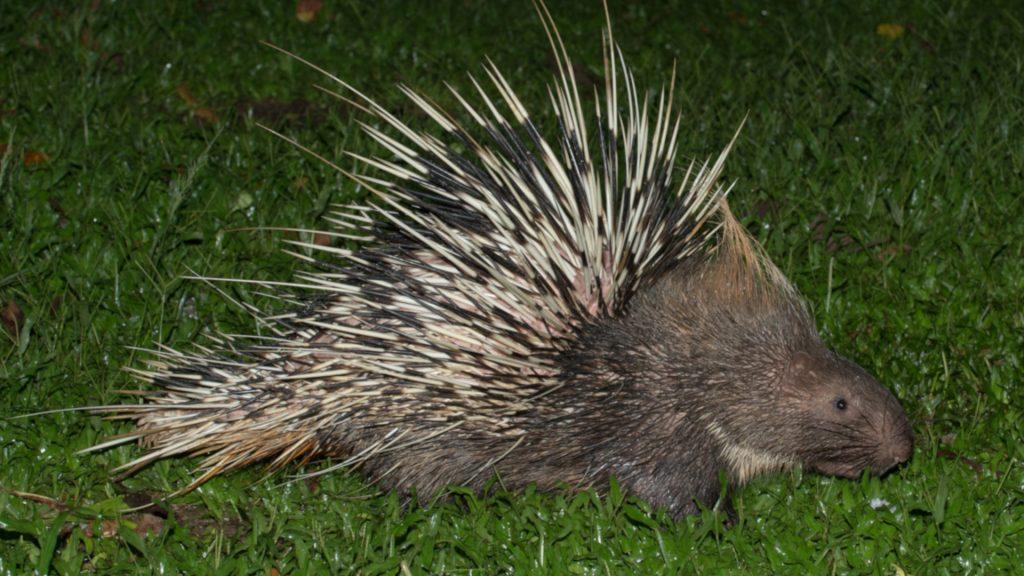 Malayan porcupine