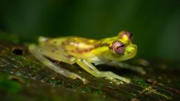 Mindo glassfrog
