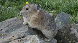 pika on a rock