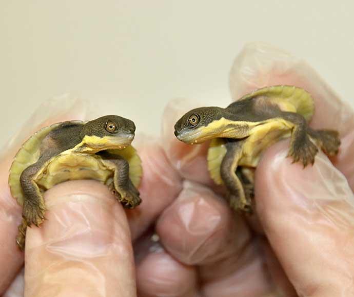 Bellinger turtle hatchlings
