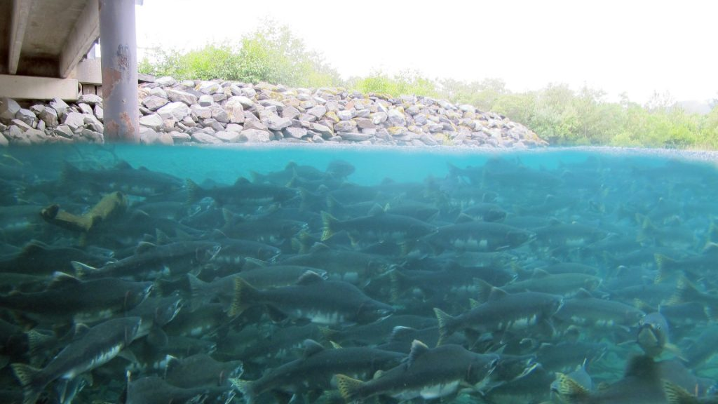 hundreds of salmon swimming