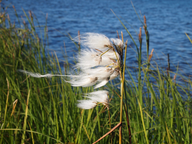 Wisps of cottongrass blows in the wind