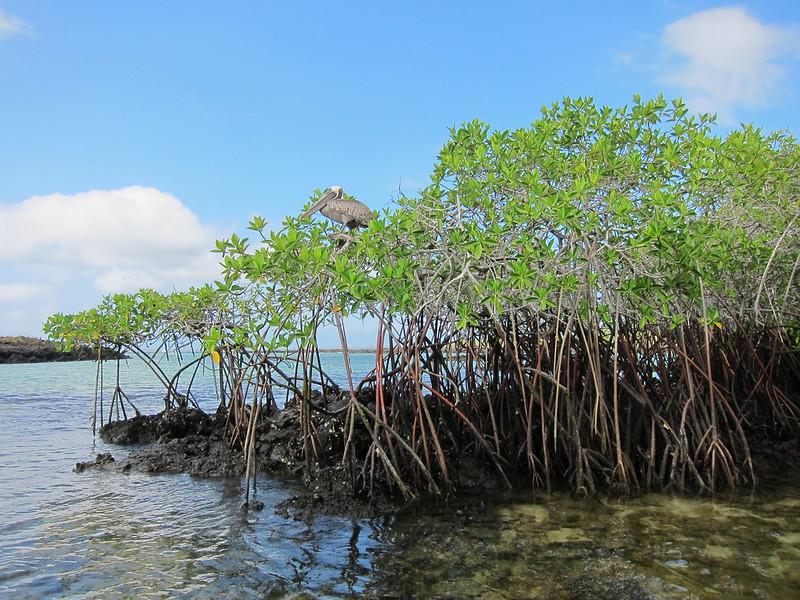 Mangrove Galapagos