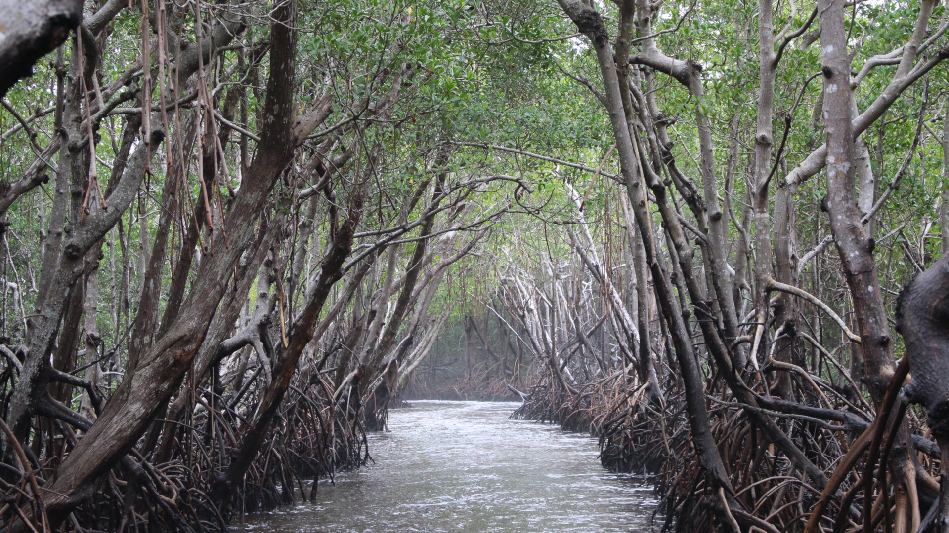 Mangroves Could Help Save Us From Climate Change. Climate Change Is Killing Mangroves. • The Revelator - The Revelator