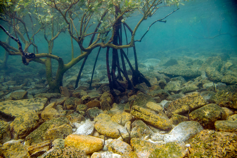 Mangroves underwater