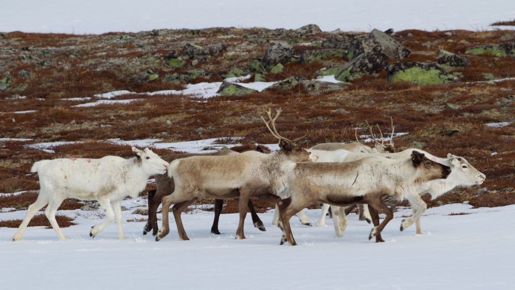 reindeer walking on snow