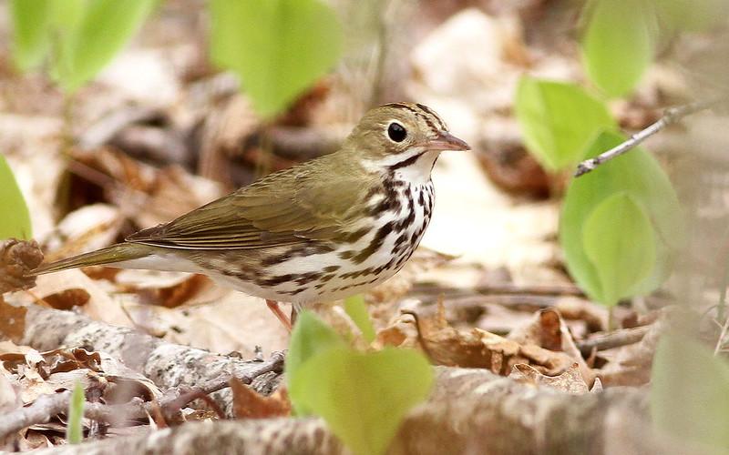 Ovenbird on forest floor