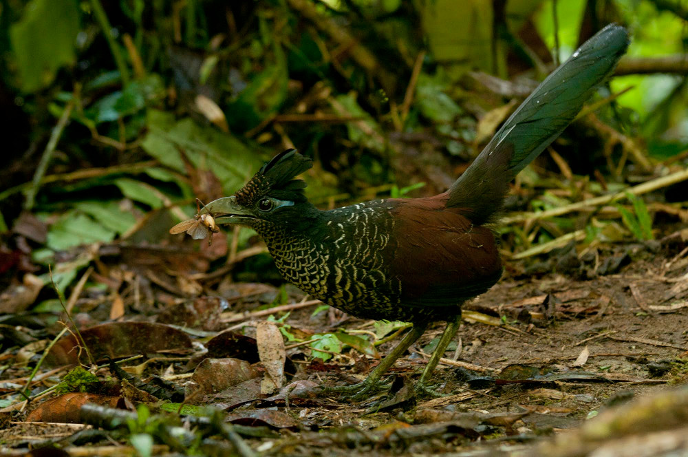banded ground-cuckoo