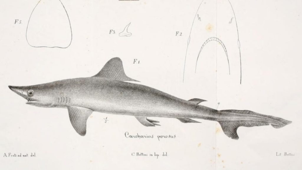 smalltail shark