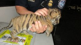 rescued tiger cub