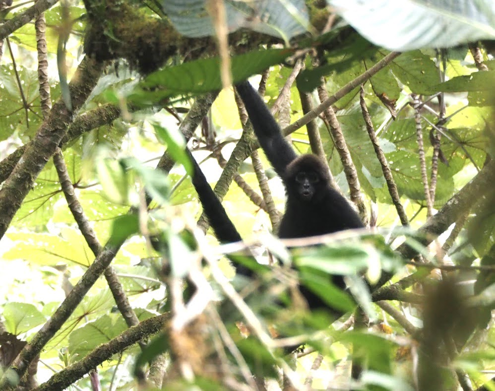 Brown-haired spider monkey