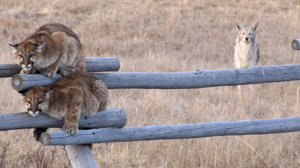 two mountain lions on a fence