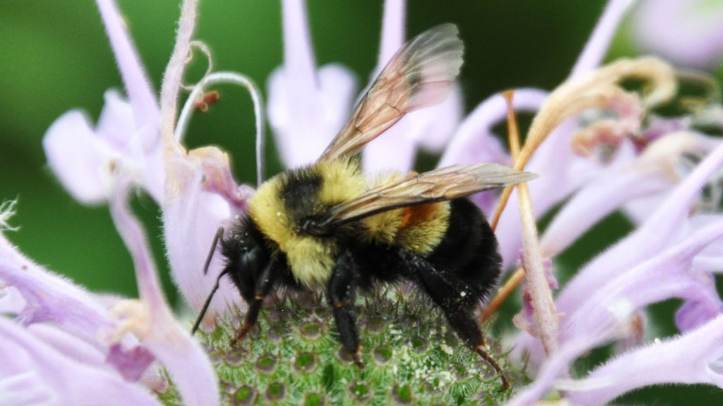 An endangered rusty patched bumble. Photo: Jull Utrup/USFWS