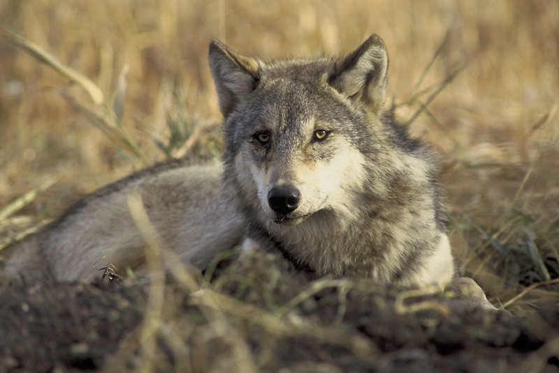 Wolf laying down.