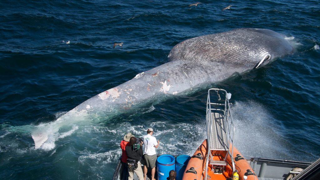 dead whale in water