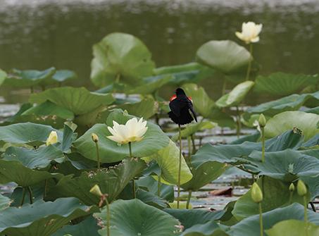 Red-wing blackbird on iris