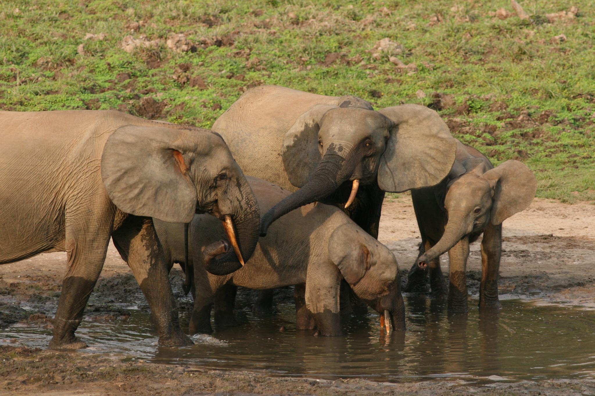 Foresst elephants