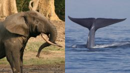 Forests elephant blue whale