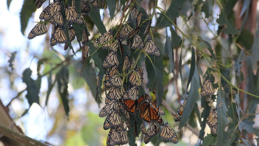 cluster of monarchs on tree