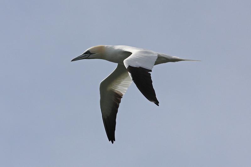 northern gannet flying