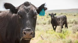 livestock public lands