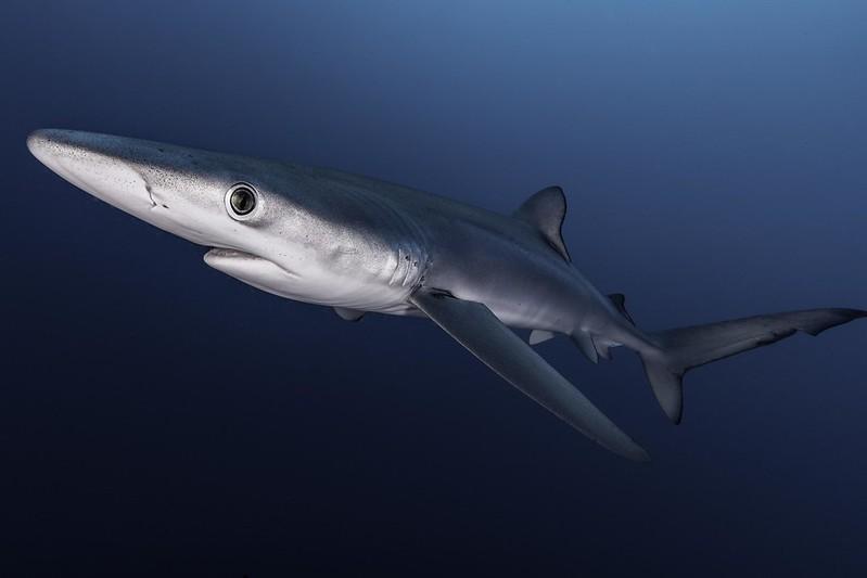 Blue shark in water
