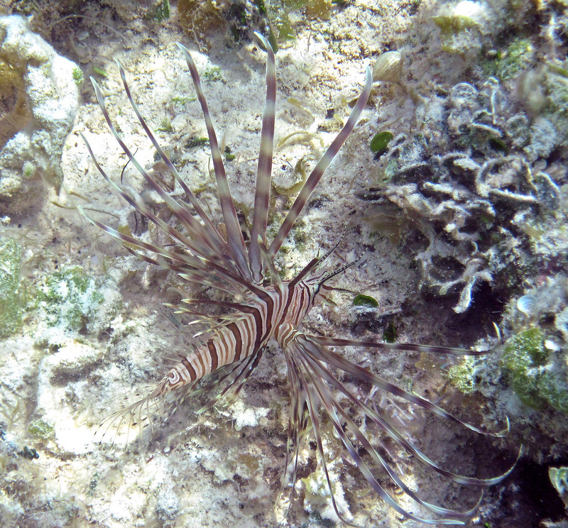 lionfish on the seafloor