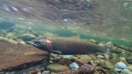 salmon beneath the water