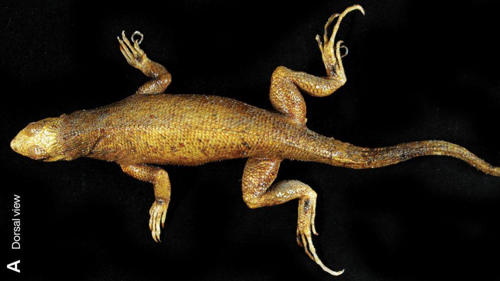 Leiocephalus roquetus