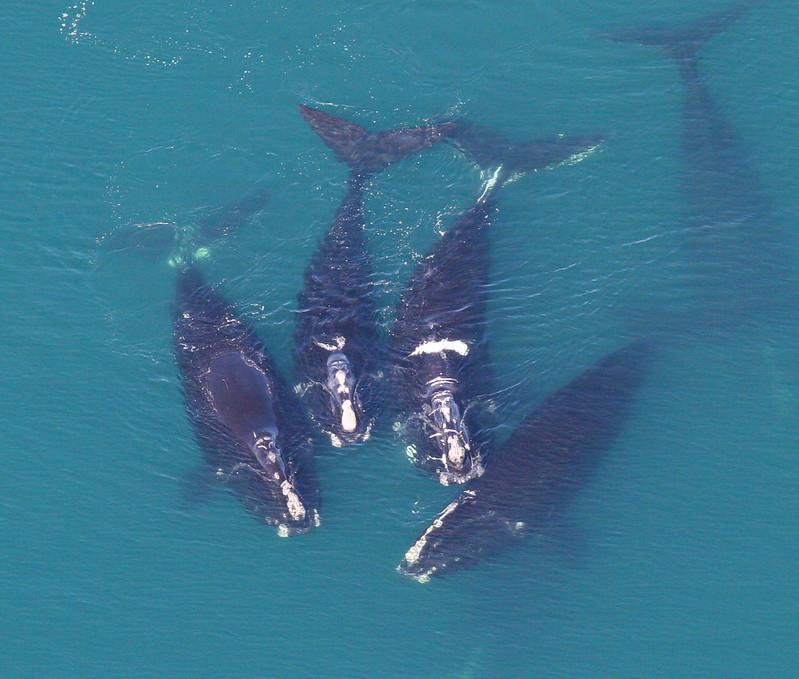 Baleines noires de l'Atlantique Nord