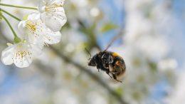 bee flying toward flower