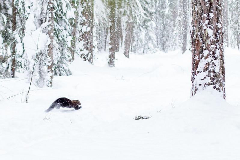 Fisher runs through the snow
