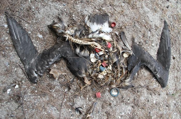 Dead bird with plastic