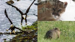 eagles mountain lions wombat