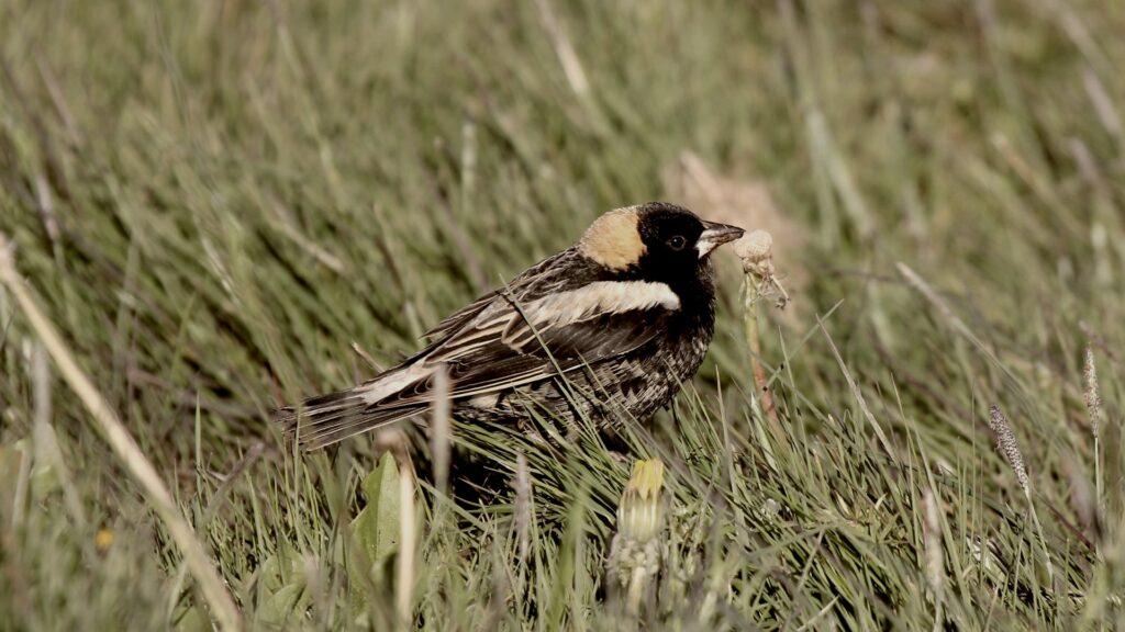 bobolink in grass