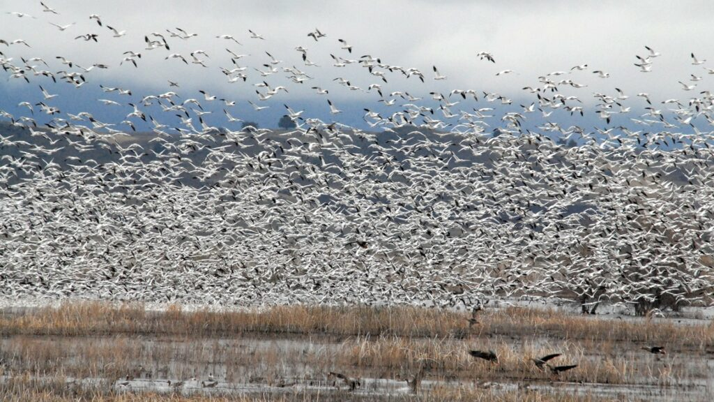 hundreds of geese flying