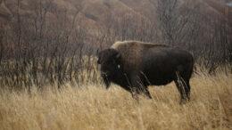 old harbor bison