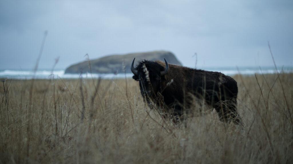 bison Siduuq