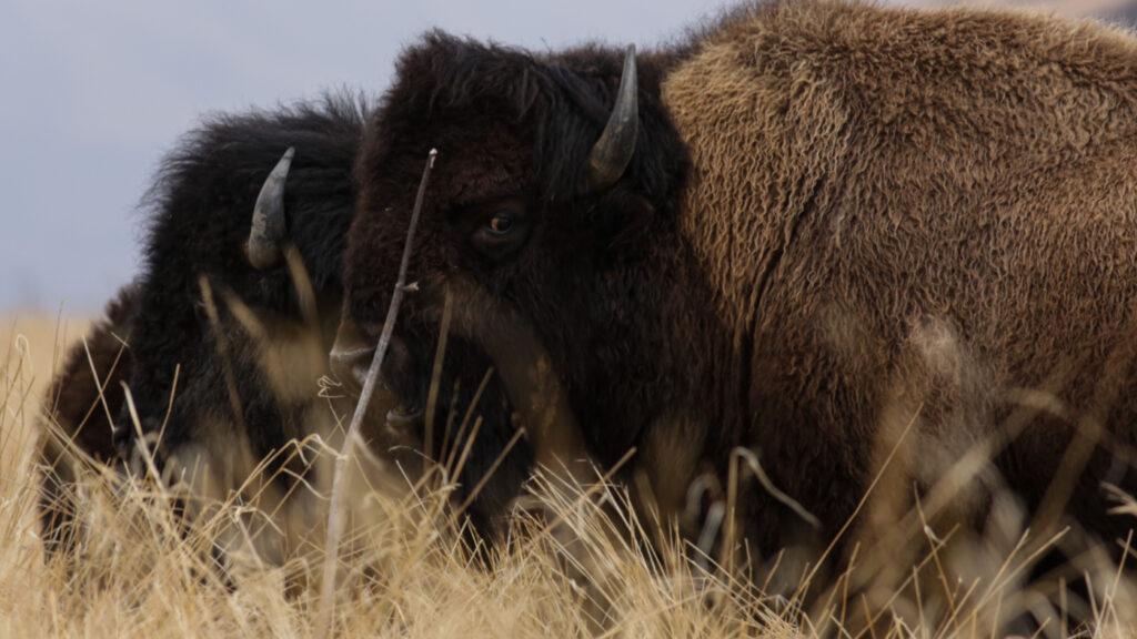 Old Harbor bison trio