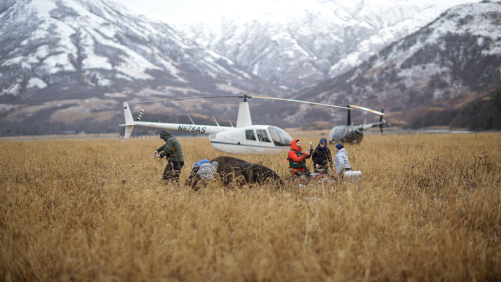 Old Harbor helicopter and bison