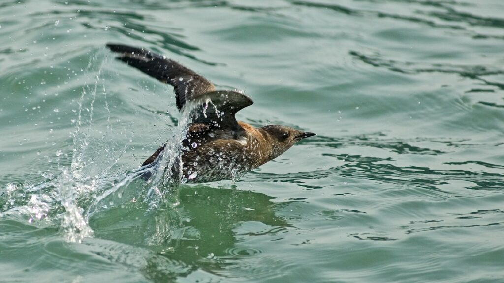 marbled murrelet in the water