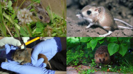 Rodentia and Eulipotyphla